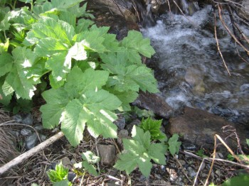 Young cow parsnip, aka Heracleum maximum, by the stream.