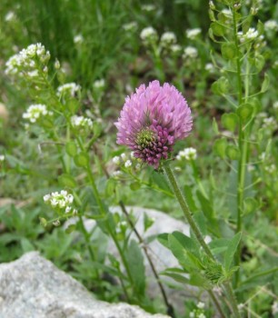 A red clover flower surrounded by pennycress.