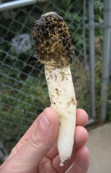 stinkhorn phallus 224x350 The Morel of this Story