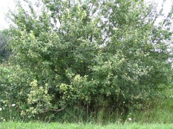 apple tree 350x262 Free Apples Need a Good Home ASAP
