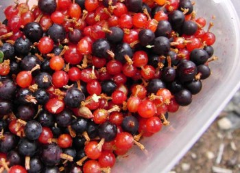 A mixed forage of tart purple and mild, piney red Ribes berries in plastic. Photo by Gregg Davis.