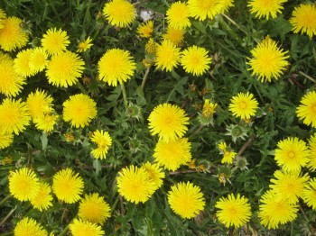 dandelions galore 350x262 Edible Plants in The Hunger Games