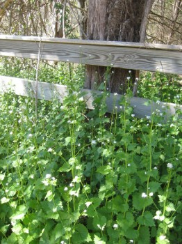 Garlic mustard, invading