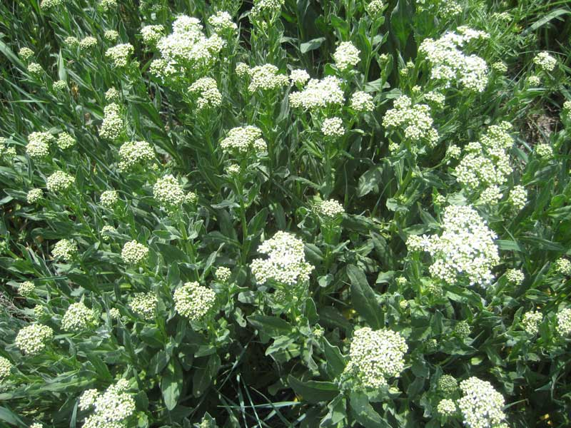 Whitetop Is A Listed Invasive Species Targeted For Eradication In Areas Of Colorado And Other