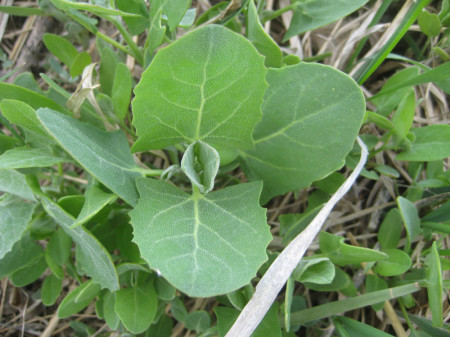 orache plant2 450x337 Orache is Not the Same as Lambs' Quarters
