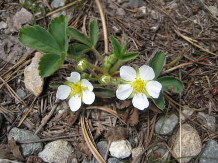 Wild strawberry flowers have 5 white petals and yellow centers.
