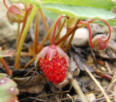 Wild strawberries look like diminutive cultivated strawberries. If you know one, you should be able to recognize the other.