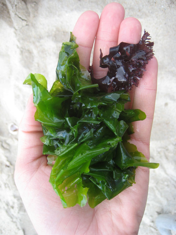 Irish moss (Chondrus crispus), top right, and a species of sea lettuce (Ulva), collected in Old Lyme, Connecticut.