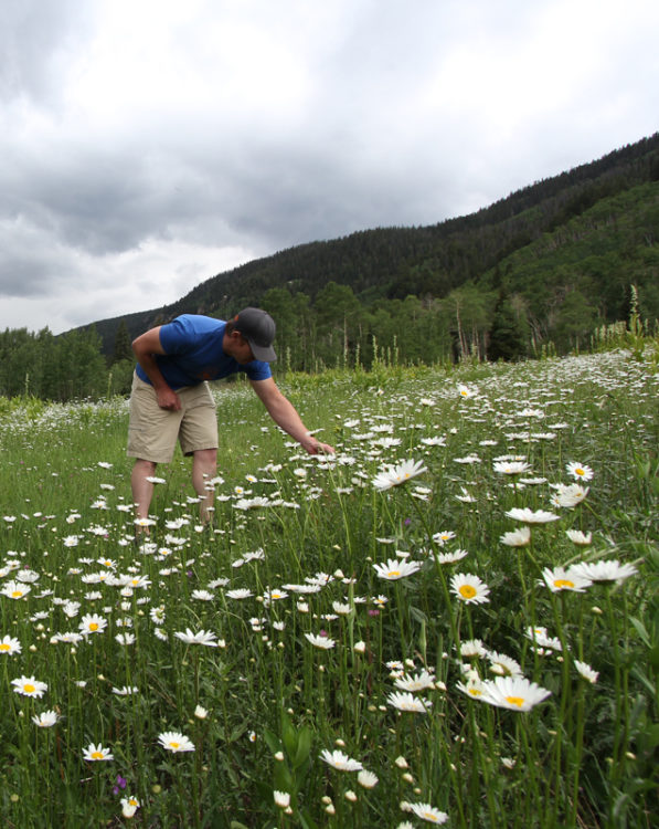 A chef in a field of flowers. The basal leaves of these ox-eye daisies make fine green fare, especially before or after flowering when the rosettes are flourishing.