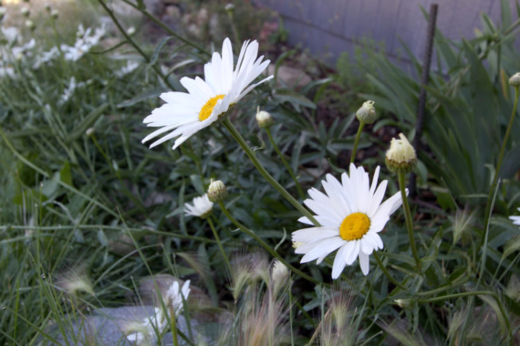 Shasta daisies are a large-flowered hybrid used in landscaping. They are edible and offer substantial, flavorful leaves.