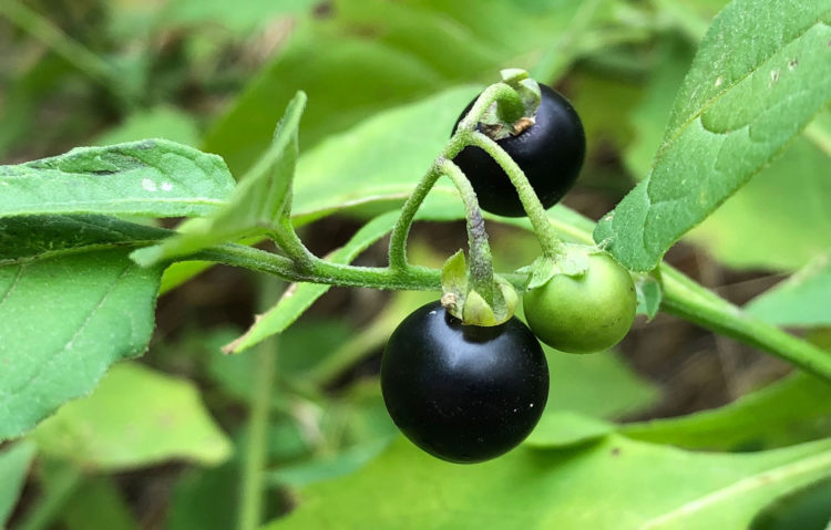 black-nightshade-Colorado